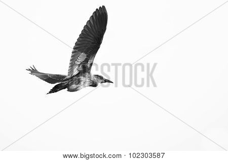 Immature Black-crowned Night Heron Flying On A White Background