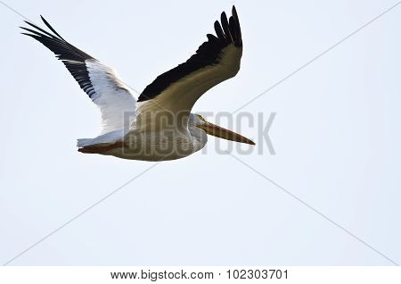 American White Pelican Flying On A White Background