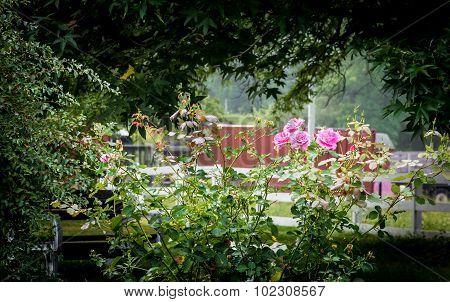 Morning Light On Roses