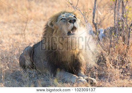 Large Male Lion Roar In Early Morning With Steam On His Mouth