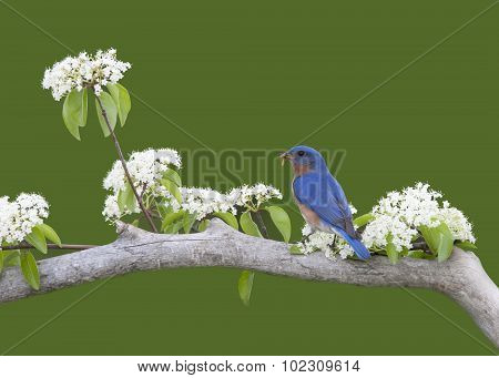 Bluebird in White Flowers