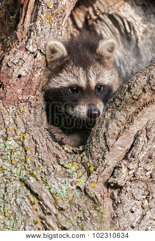 Young Raccoons (procyon Lotor) Wedged In Tree