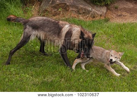 Black Phase Grey Wolf (canis Lupus) Plays With Pup