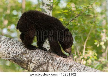 Young Black Bear (ursus Americanus) Sniffs Branch Stub