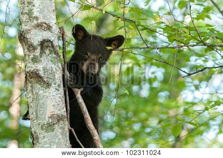 Young Black Bear (ursus Americanus) Looks Down From Tree
