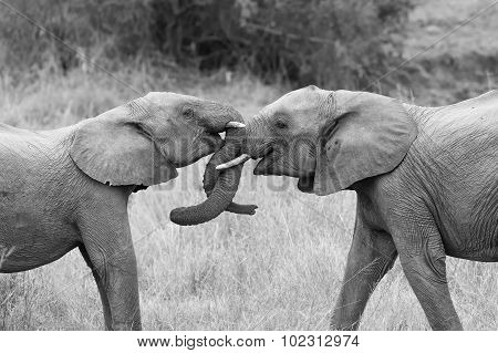 Two Elephant Greet With Curling And Touching Trunks Artistic Conversion