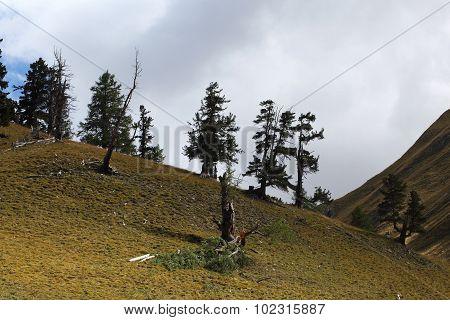 Old Trees On Alpine Grassland