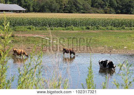 Cows in the Creek