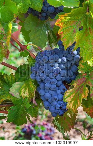 Bunch of ripe grapes among green leaves in the vineyards of Piedmont, Northern Italy.