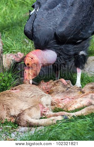 California Condor Feeding On Carcass