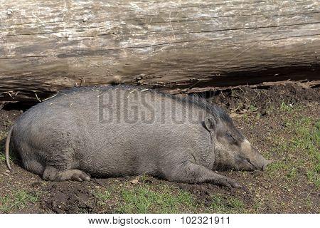 Visayan Warty Pig Sow Sleeping