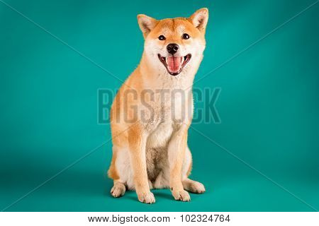 Shiba Inu sits on a green background with happy face