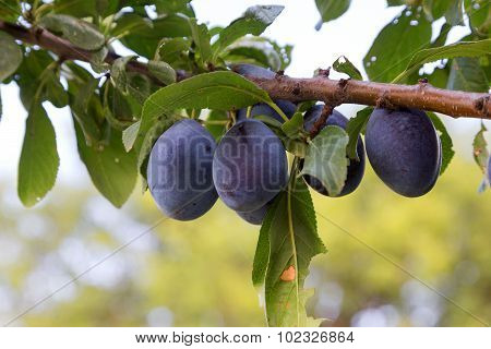 Ripe Plums With Green Leaves On A Branch. Fresh Berries. Selective Focus