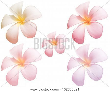 Blur Frangipani Flower Or Plumeria Flower On Whitebackground With Colorful Filter