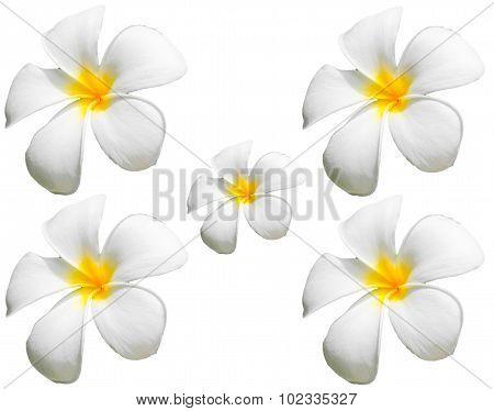 Frangipani Flower Or Plumeria Flower Isolated On White Background