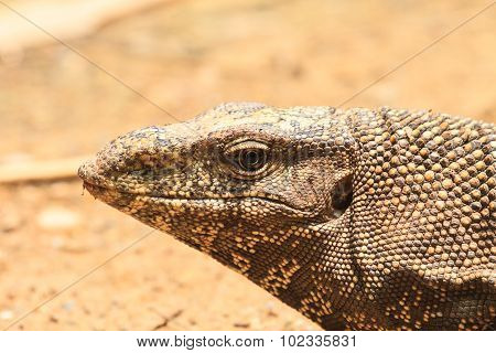 Bengal Monitor Lizard In The Forest