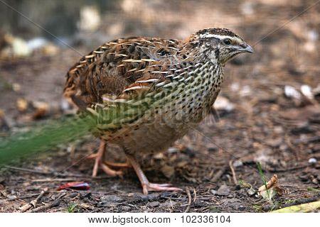 Japanese quail (Coturnix japonica). Wild life animal.