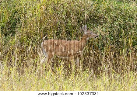 Side View Of Deer In Grass.