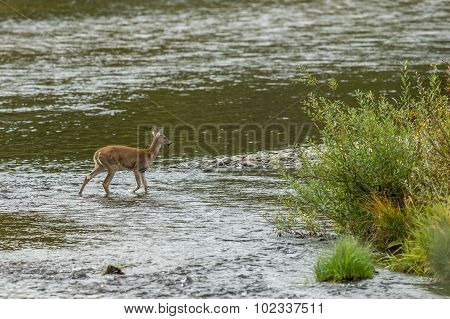 Young Deer Near River's Edge.