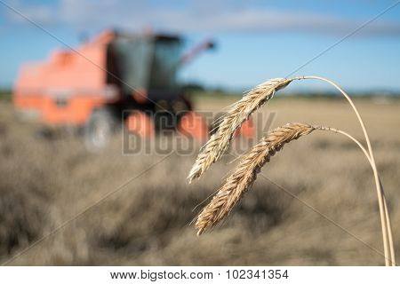 Wheat Harvest With Combine Harvester In Background