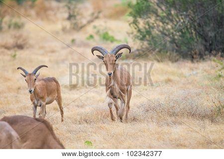Aoudad Ram Walking