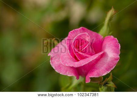 Beautiful Violet Hibiscus In Garden