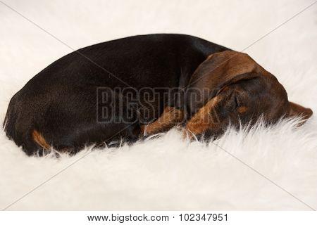 Lovely dachshund puppy sleeping on fur blanket.