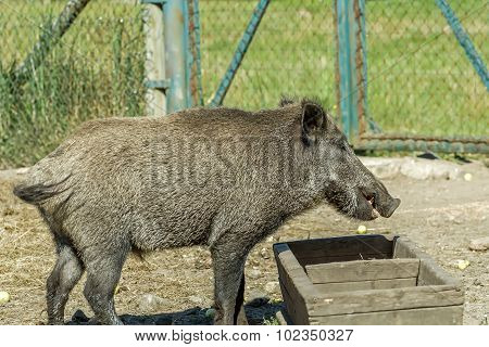 Big Hog Trough To Eat