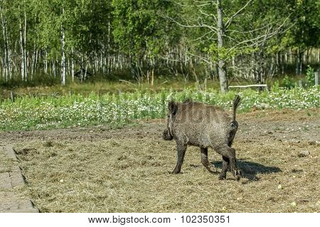 Hog Goes Into The Woods