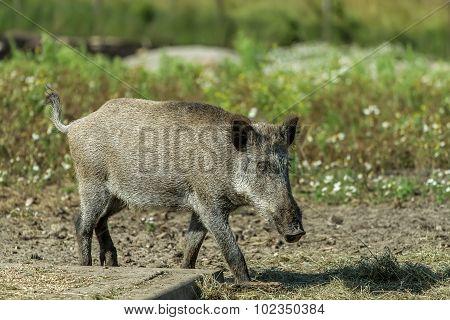 Hog Goes