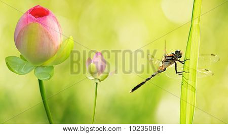 Dragonfly Close Up With Water Lily Flowers