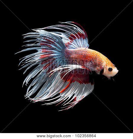 Betta Fish Ob Black