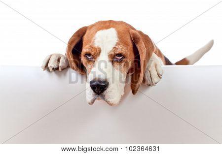 Beagle On White