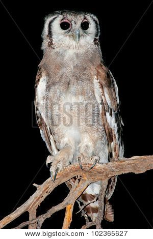 Nocturnal Giant eagle owl (Bubo lacteus) perched on a branch, South Africa