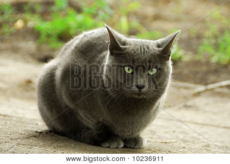 big gray home cat