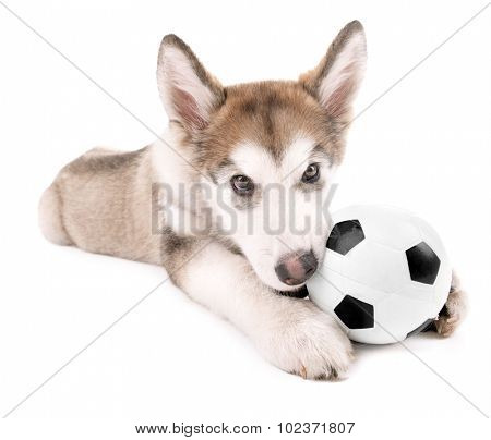 Cute Malamute puppy playing with ball isolated on white