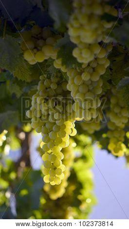 Ripe Grape Ready For Harvesting