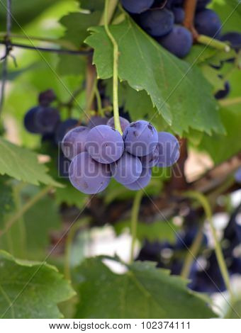 Picture of a ripe grape ready for harvesting