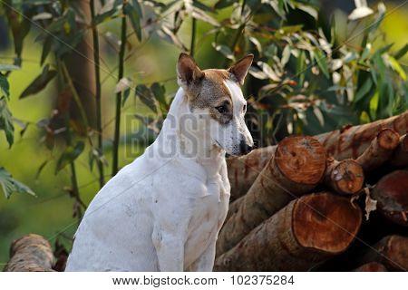 White Street Dog