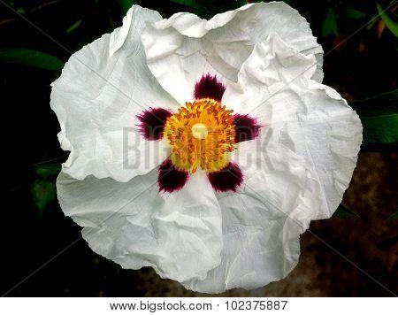 Cistus (Rock Rose) Flower