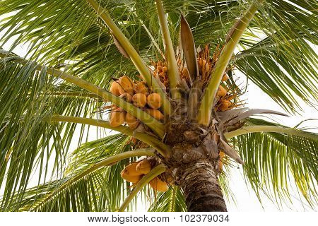 Coco-palm Tree With Yellow Nut