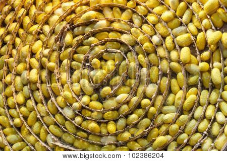 Silkworm Cocoons Nest.