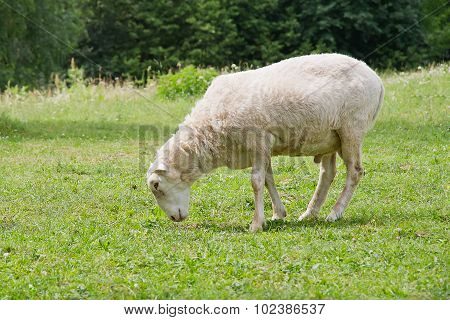 White Hornless Ram Eating Grass