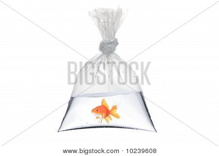 A View Of A Golden Fish In A Bag