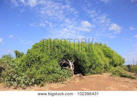 Sprawling shrub