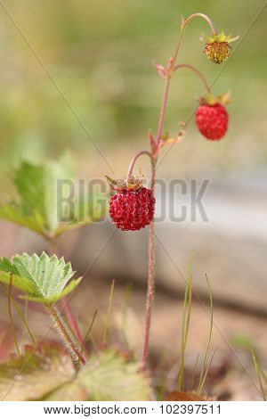Berries of wild strawberry in the forest. Fragaria