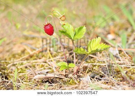 Bush of wild strawberries in the forest