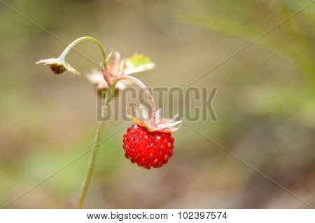 Wild strawberry on a branch