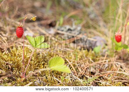 Bush of wild strawberries in the woods.