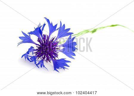 Cornflower Isolated on White